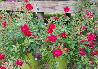 Heritage Hill Roses