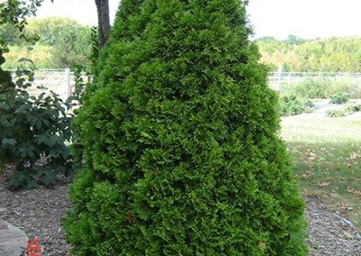 arborvitae-emerald-green01