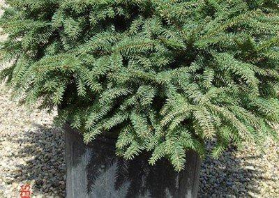 evergreen-shrub-birds-nest-spruce