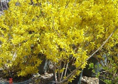 shrubs-forsynthia01
