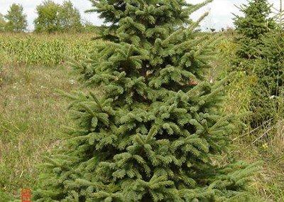 spruce-black-hills01