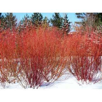 Baton Rouge Dogwood Red Winter Appearance