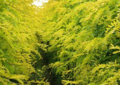 gleditsiatria-honey-locust-baileys (1)