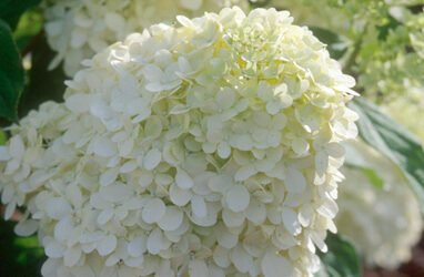 Limelight Hydrangea – Tree Form