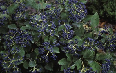 Blue Muffin Viburnum