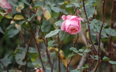 Preparing roses for a long winter's nap
