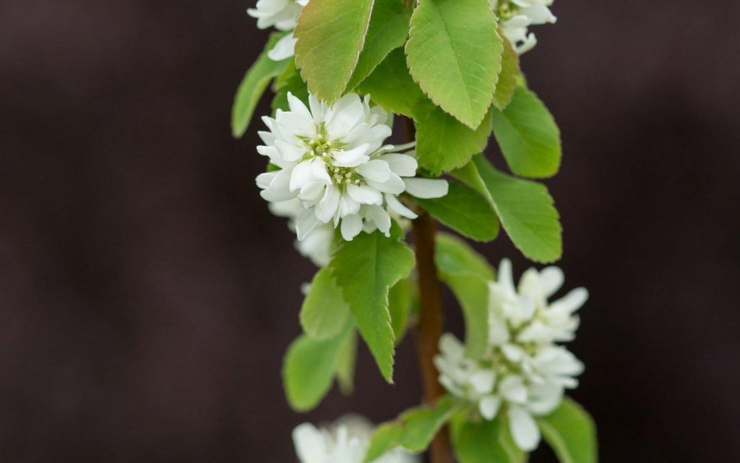 Standing Ovation* Serviceberry