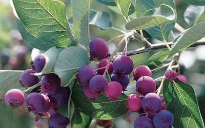 Autumn Brilliance Serviceberry – Shrub Form