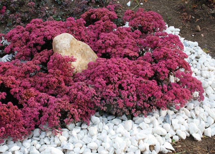 Sunsparkler * Dazzleberry Sedum.