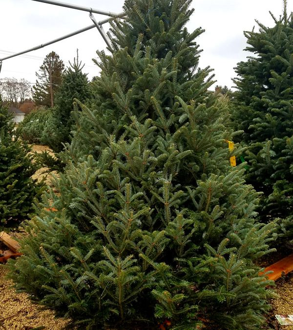 UPDATE 2021 Christmas Tree Lot at Heritage Hill Nursery will be open!