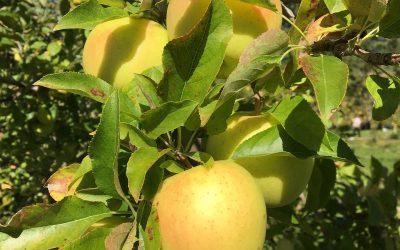 Honeygold Apple Tree