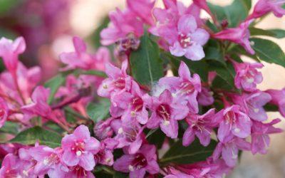 Sonic Bloom® Pink Weigela
