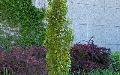 Parkland Pillar Birch