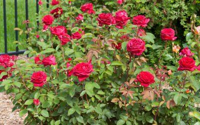 Easy Elegance® Kashmir Rose