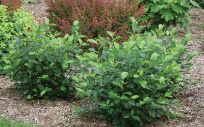 Low Scape® Mound Chokeberry